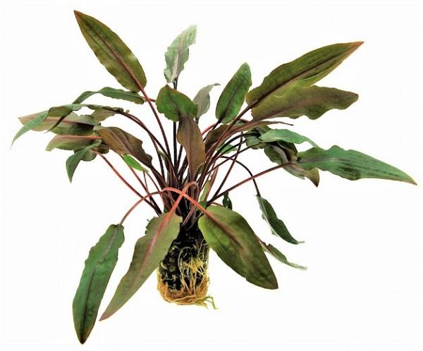 Cryptocoryne undulatus brown - gewellter Wasserkelch für eine tolle robuste Wasserpflanze im Vorderen bereich.