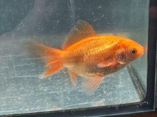 Carassius auratus - rotorangener Goldfisch