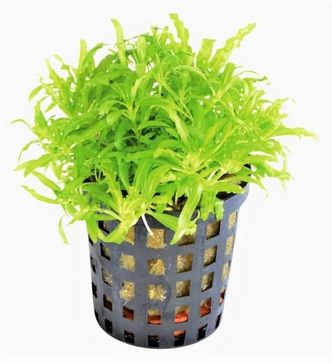 Pogostemon helferi - kleiner Wasserstern eine wunderschöne Vordergrungpflanze und viele weitere Aquariumpflanzen bei Wiebies Aquawelt