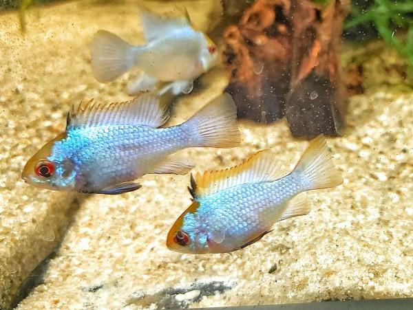 Microgeophagus ramirezi electric blue der blaue schmetterlingsbunbarsch