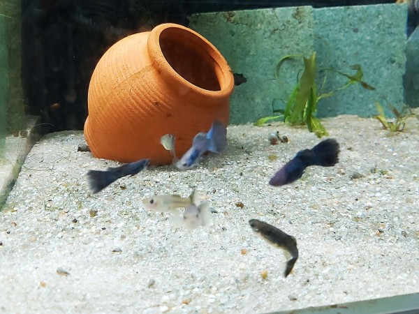 Poecilia reticulata - Moskau blau