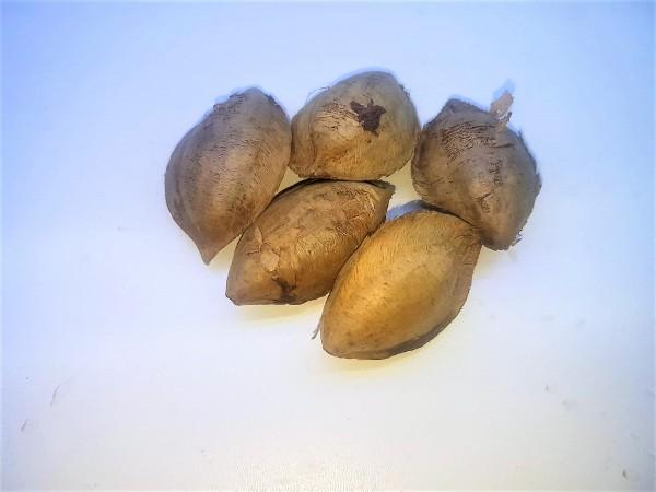 Seemandelbaum Samen