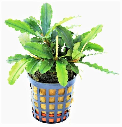 Bucephalandra Theia Grün und viele tolle weiteren Bucephalandras und Aufsitzerpflanzen