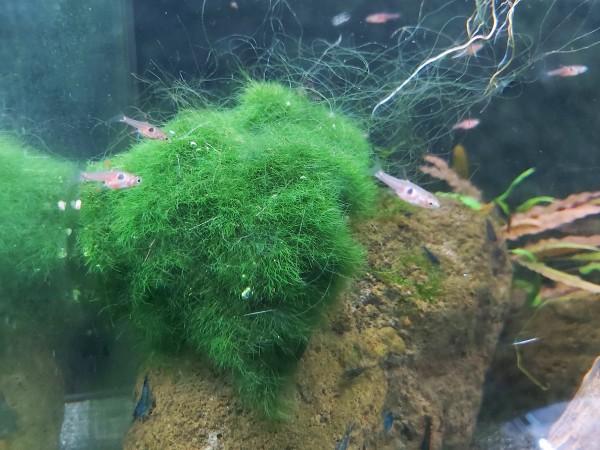 Boraras naevus - erdbeerbärbling der zwergbärbling im Aquariu