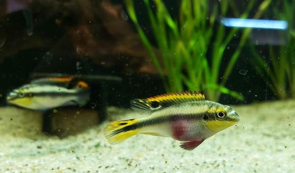 Pelvicachromis kribensis - Smaragdbarsch Paar