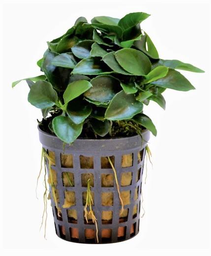 Anubias nana Bonsai - kleines Zwergspeerblatt die kleine pflegeleichte Wasserpflanze für Aquascapes und Nanoaqurien