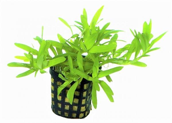Heteranthera Zosterifolia - Seegrasblättriges Trugkölbchen