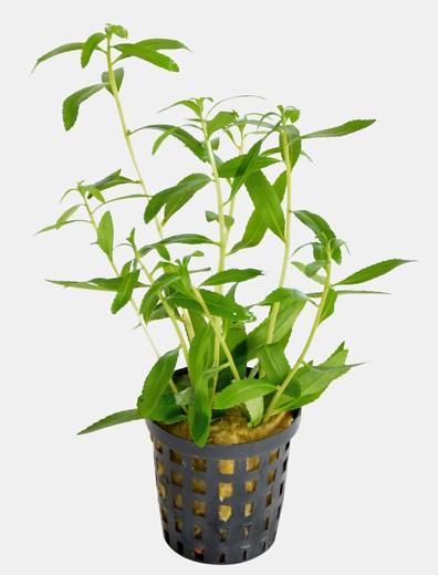 Proserpinaca palustris 'cuba' - Meerjungfrauenpflanze die tolle Wasserfeder für pflegeleichte Aquarien