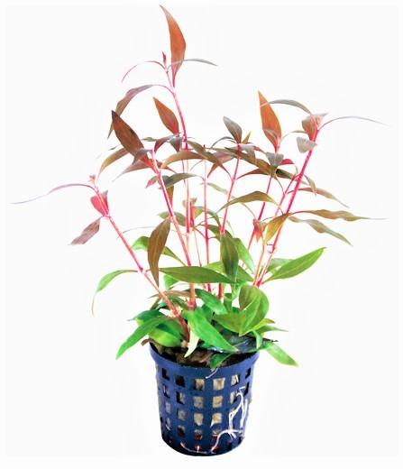 Alternanthera reineckii -Rosaefolia mini - Mini Papageienblatt das tolle Papageienblatt für den mittleren Aquarienbereich.