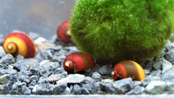 Vittina waigiensis - Rote Rennschnecken kaufen,weitere tolle Schnecken kaufen online Schnecken für dien Aqaurium kaufen
