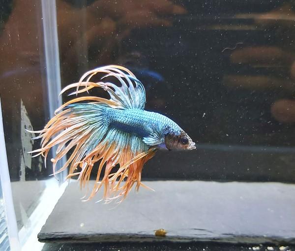 Betta splendens crowntail male - Kronenschwanzkampffisch männlich und viele weitere Zierfische, Garnelen und Welse bei Wiebies Aquawelt