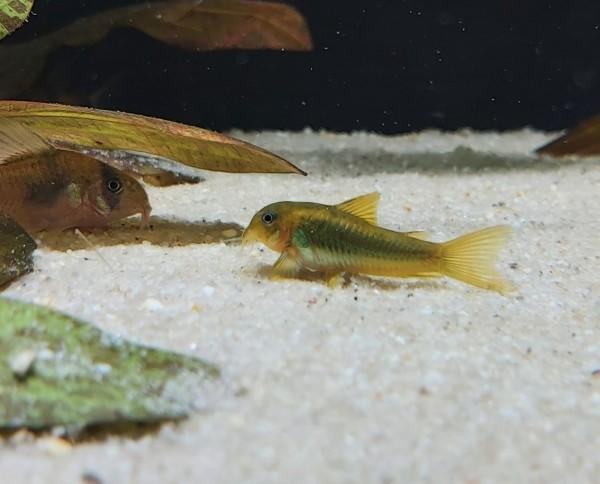 Corydoras Aeneus gold- Goldstripe Panzerwels