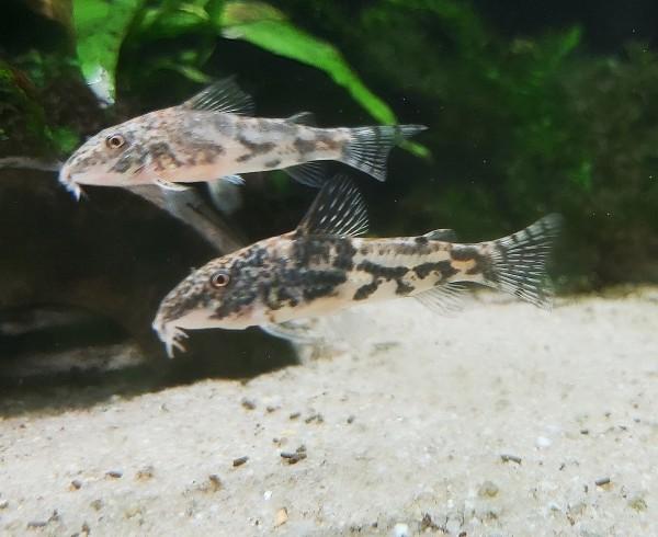 Corydoras barbatus - Schabrackenpanzerwels