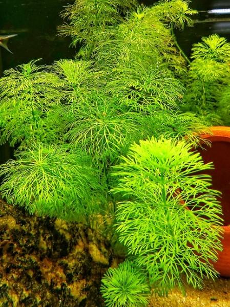 Limnophila heterophyllia sumpffreund kaufen, limnophila kaufen