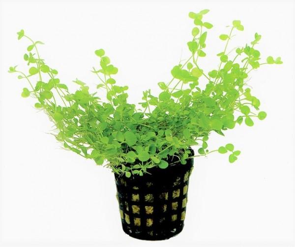 Micranthemum umbrosum - rundblättriges Perlkraut