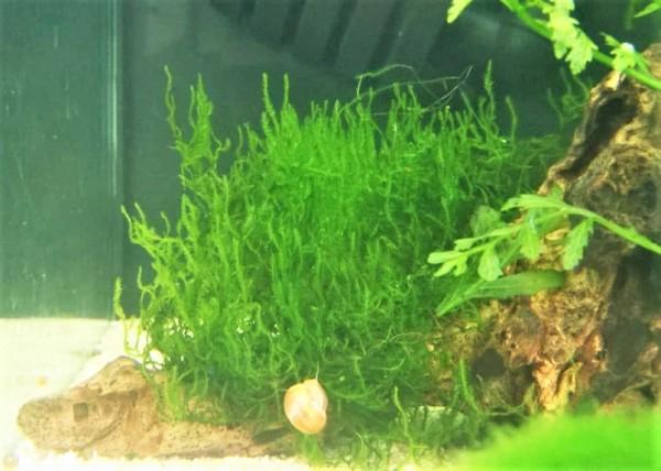 Flammenmoos - Taxiphyllum spec. Flame , Garnelenaquarium tolles Moos