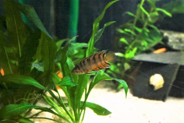 Microctenopoma ansorgii kaufen orange buschfisch kaufen Aquarium buschfisch