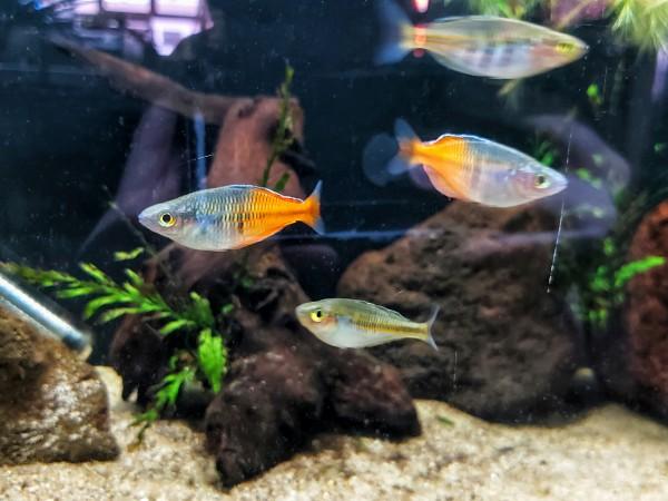Melanotaenia boesemani - Regenbogenfisch