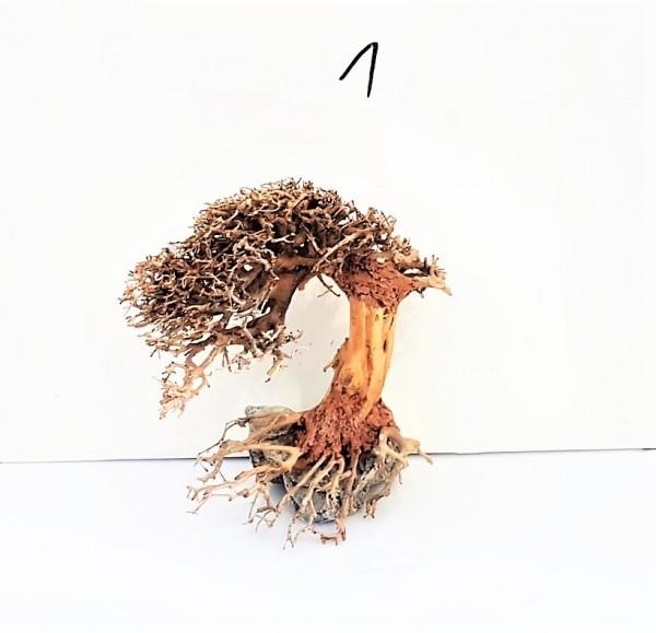 Gernelen Bonsai, Unterwasserbaum Garneenbaum Top Red Fire Blue Dream