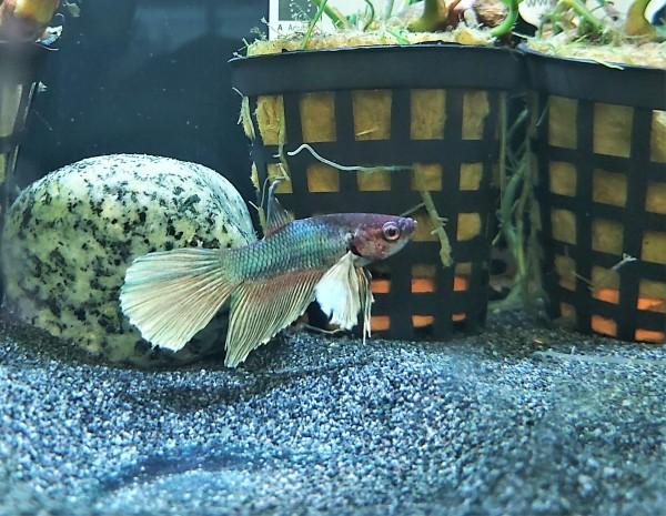 Betta splendens plakat male - Kampffisch männlich und viele weitere Zierfische, Garnelen und Welse bei Wiebies Aquawelt