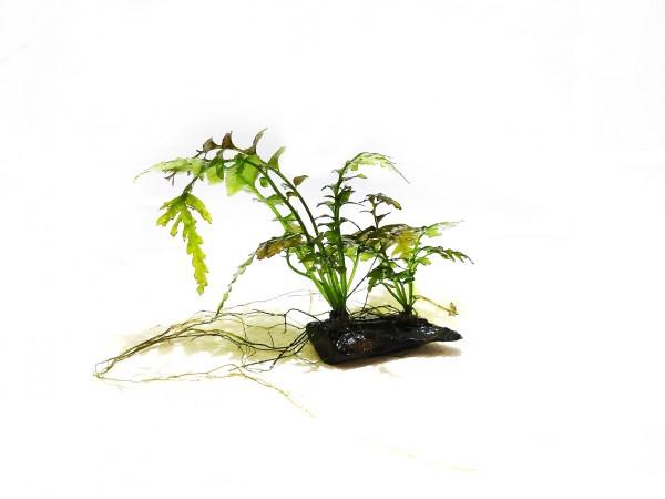 Hymenasplenium obscurum dunkler Streifenfarn kaufen obscurum farn kaufen