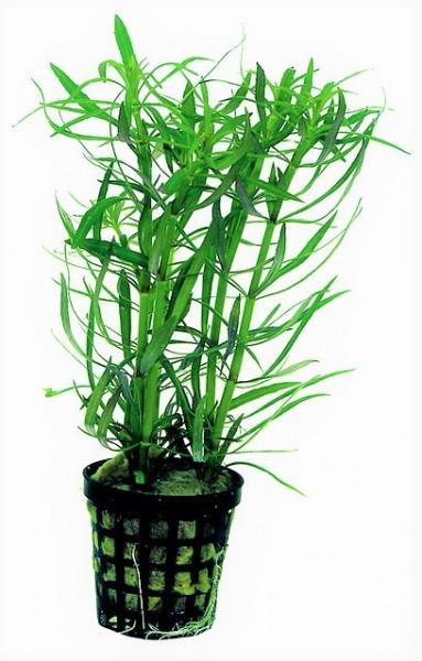 Pogostemon stellatus - Sternpflanzet der indische Wasserstern die Aquariumpflanze für den Hintergrund