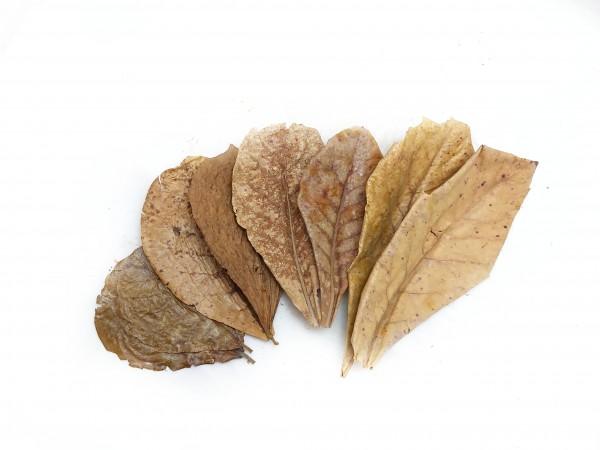 Seemandelbaumblätter online kaufen catappa leaves und Seemandelbaumblätter im Aquarium für garnelen und Schnecken und Keimreduzierung
