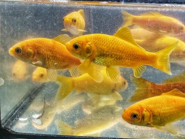 Carassius auratus - Goldengelber Goldfisch